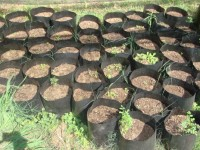 Maringa tree seedlings