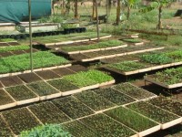 Nursery seedlings